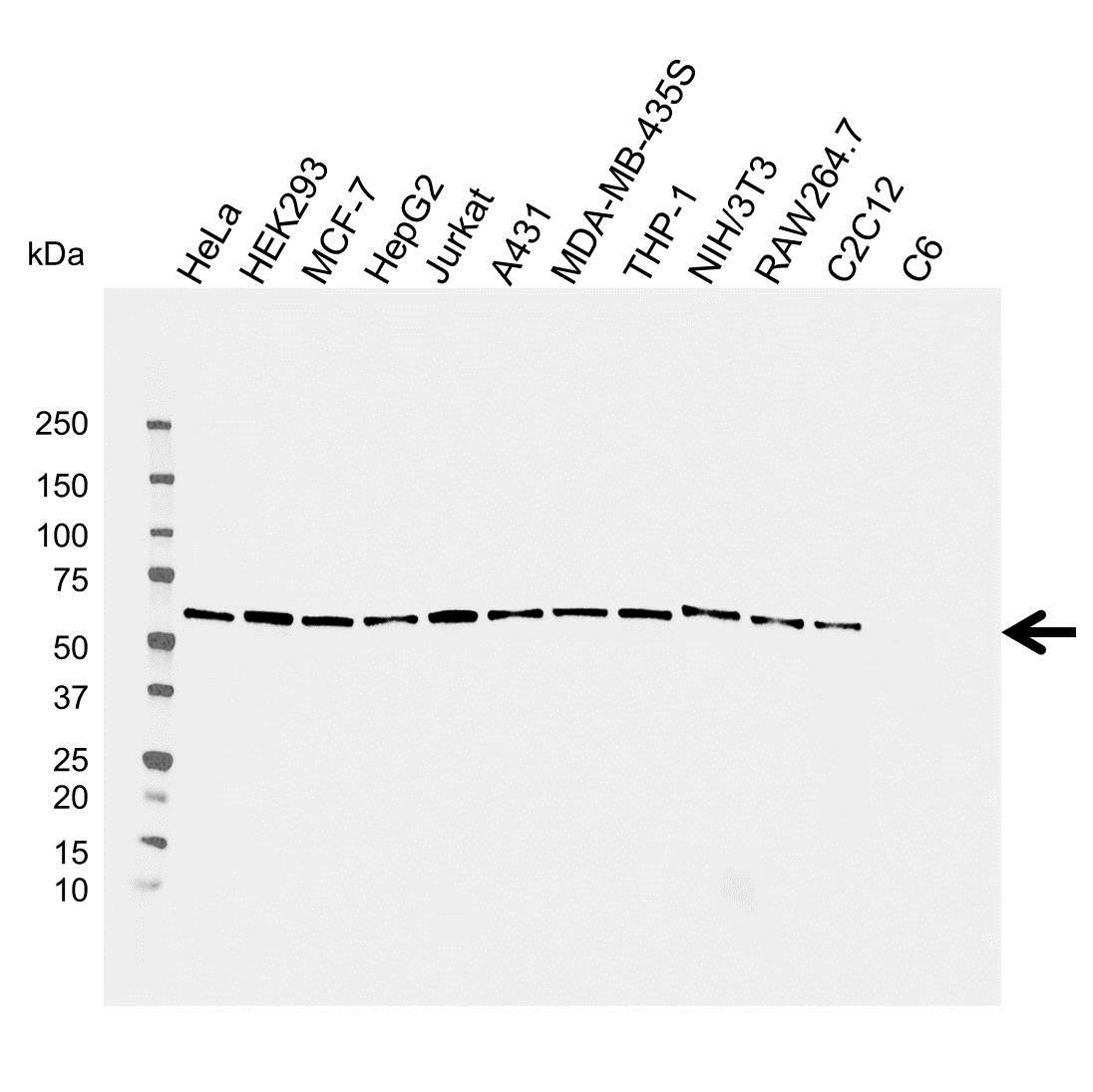 Osteoprotegerin Antibody (PrecisionAb<sup>TM</sup> Antibody) gallery image 2