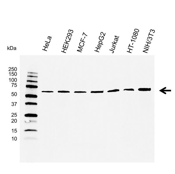 Osteoprotegerin Antibody (PrecisionAb<sup>TM</sup> Antibody) gallery image 1
