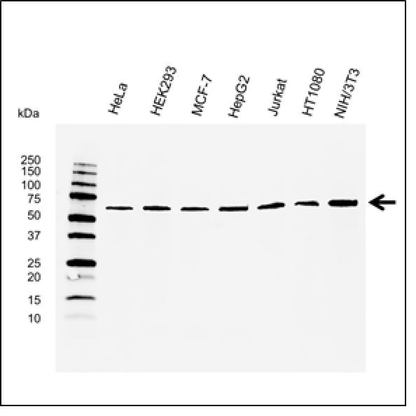 Osteoprotegerin Antibody | E01-10F11 gallery image 1