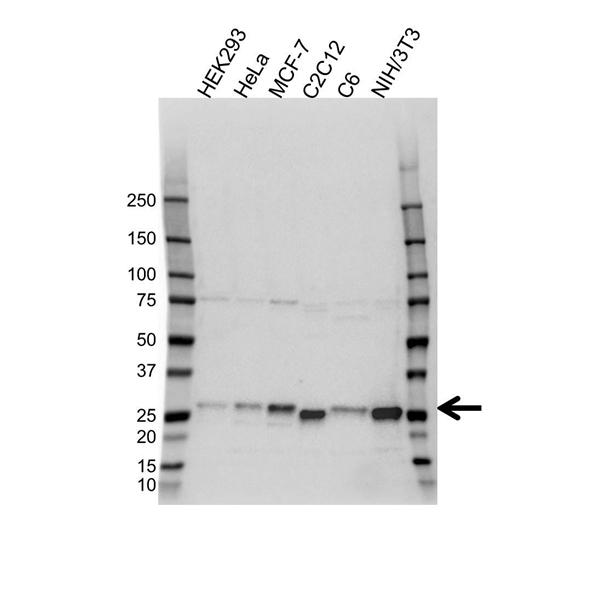 p27/Kip1 Antibody (PrecisionAb<sup>TM</sup> Antibody) gallery image 1