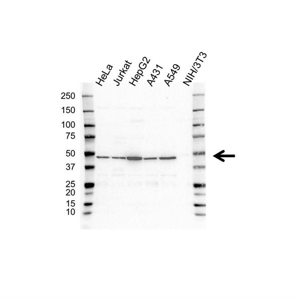 p43 Antibody (PrecisionAb<sup>TM</sup> Antibody) gallery image 1