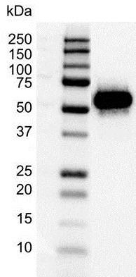 p53 Antibody (PrecisionAb<sup>TM</sup> Antibody) gallery image 2