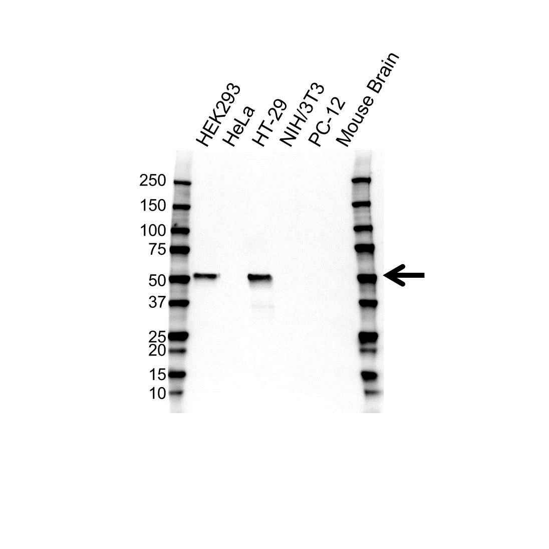 p53 Antibody (PrecisionAb<sup>TM</sup> Antibody) gallery image 1