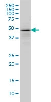 p53 Antibody | 2C3 gallery image 3