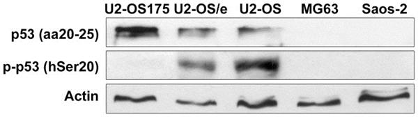 p53 Antibody | DO-1 gallery image 2
