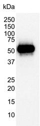 p53 Antibody | DO-1 gallery image 1