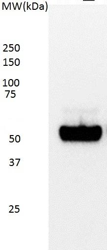 p53 Antibody | DO-7 gallery image 1
