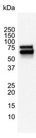 p70S6K Antibody | 1E12 gallery image 4