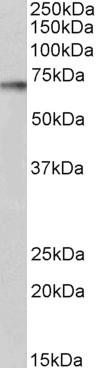 p70S6K Antibody gallery image 2