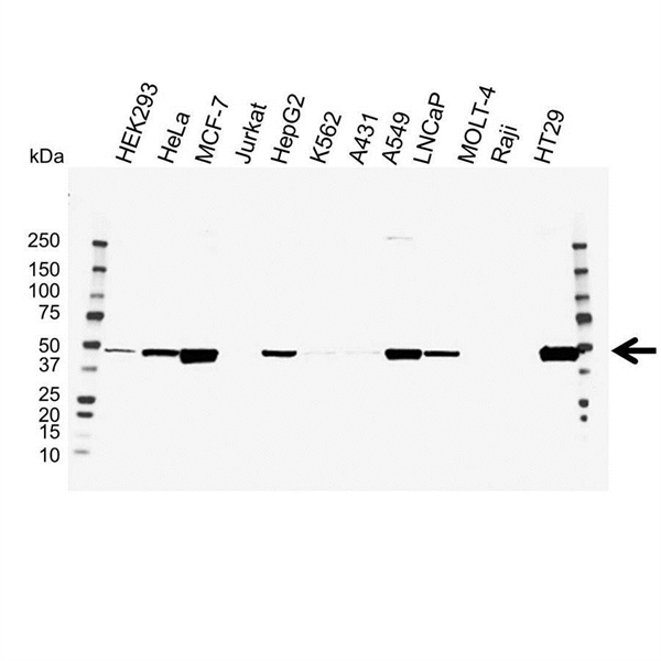 PAI-1 Antibody (PrecisionAb<sup>TM</sup> Antibody) gallery image 1