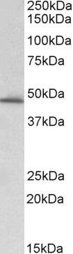 PAI-1 Antibody gallery image 1