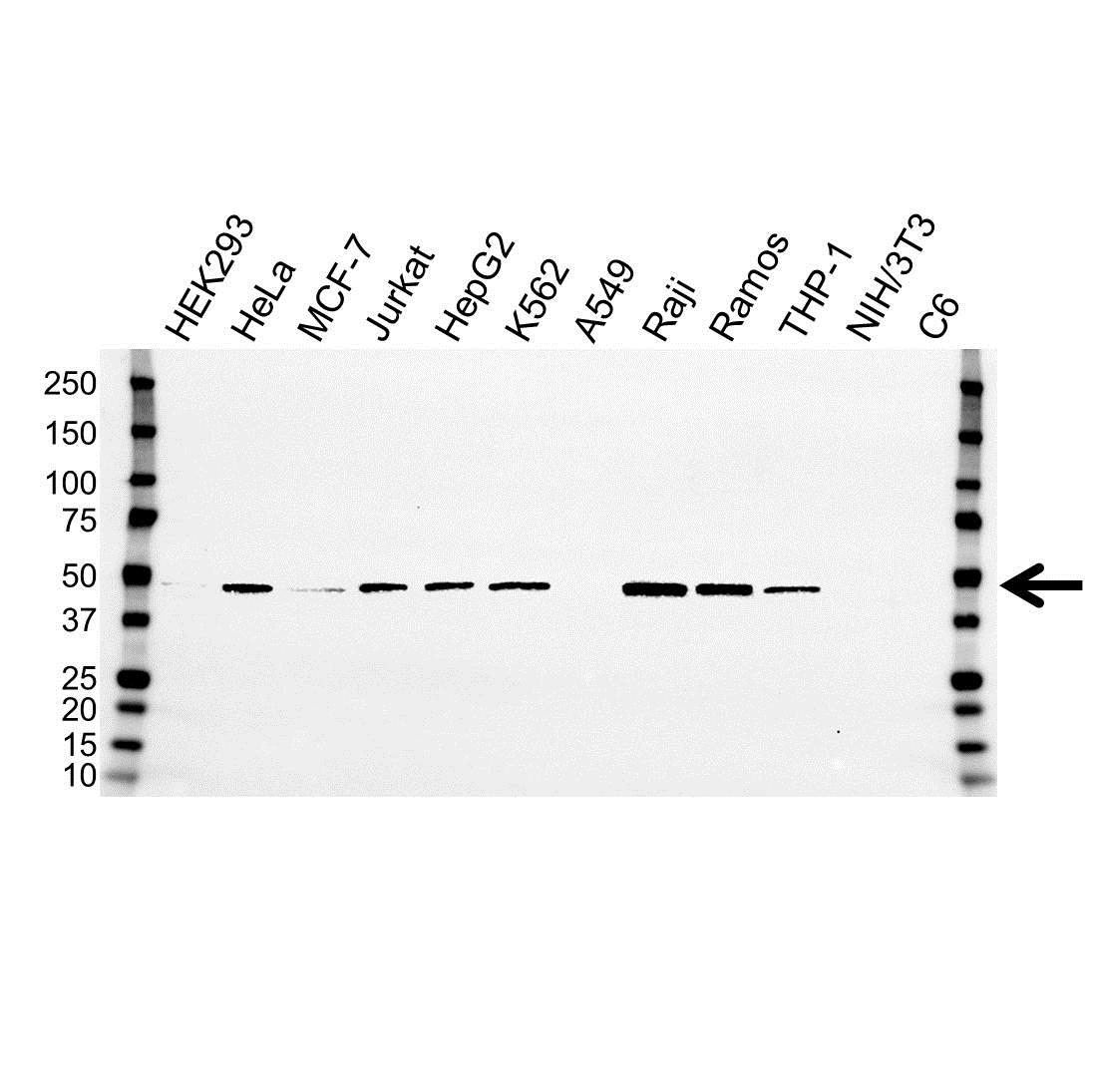 PAICS Antibody (PrecisionAb<sup>TM</sup> Antibody) | OTI5B6 gallery image 1