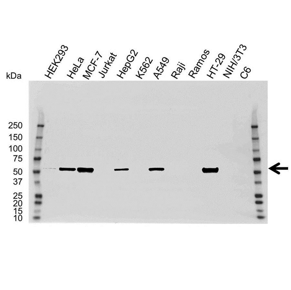 PAK2 Antibody (PrecisionAb<sup>TM</sup> Antibody) gallery image 1