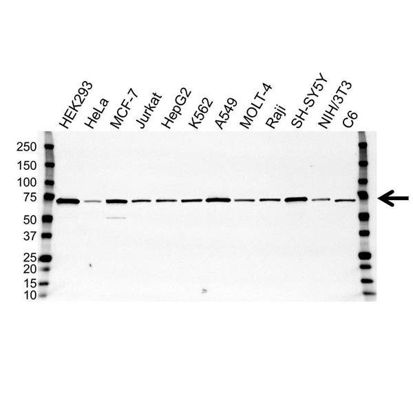PAK4 Antibody (PrecisionAb<sup>TM</sup> Antibody) | OTI1C7 gallery image 1