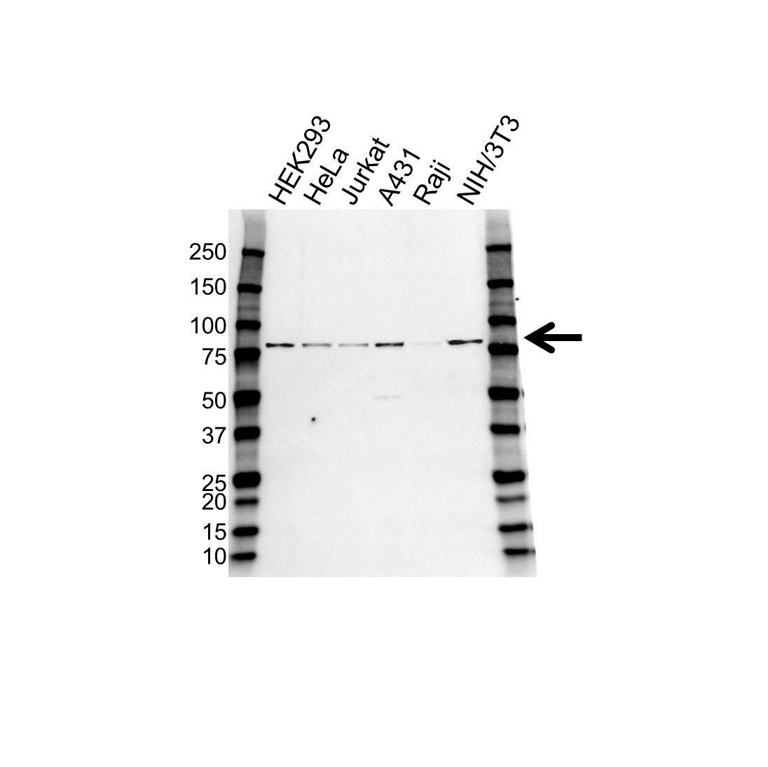 PAK6 Antibody (PrecisionAb<sup>TM</sup> Antibody) gallery image 1