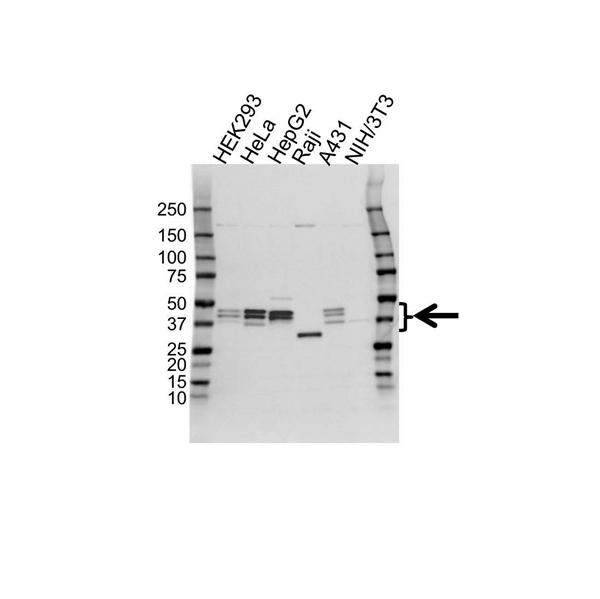 Paraoxonase 2 Antibody (PrecisionAb<sup>TM</sup> Antibody) gallery image 1