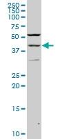 PAX2 Antibody | 2E4 gallery image 1