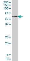 PAX7 Antibody | 1E12 gallery image 1