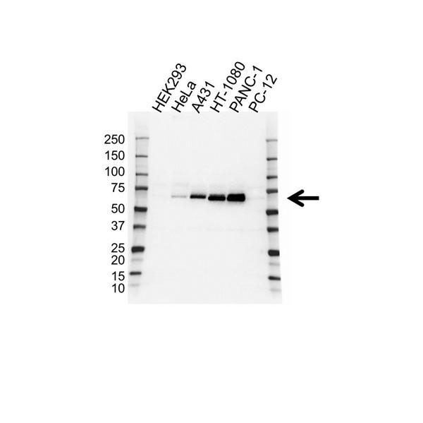 Paxillin Antibody (PrecisionAb<sup>TM</sup> Antibody) gallery image 1