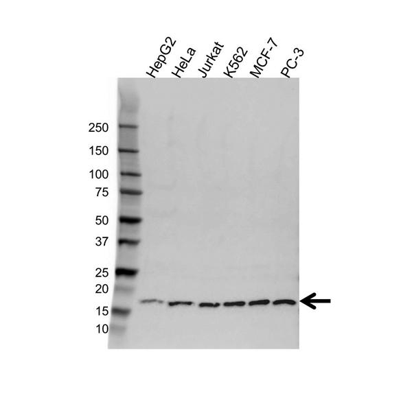 PC4 Antibody (PrecisionAb<sup>TM</sup> Antibody) gallery image 1