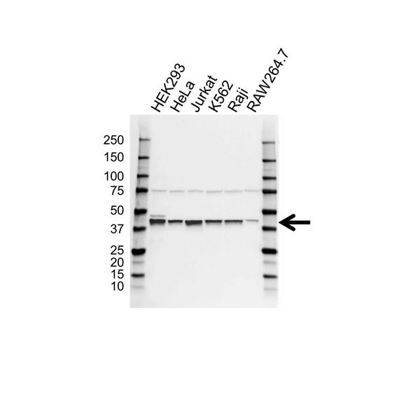 PCBP2 Antibody (PrecisionAb<sup>TM</sup> Antibody) gallery image 1