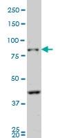 PCDHB10 Antibody | 4C4 gallery image 2