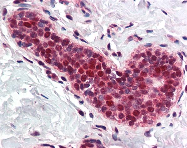 PCNA Antibody gallery image 1