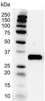 PCNA Antibody (PrecisionAb<sup>TM</sup> Antibody) gallery image 2