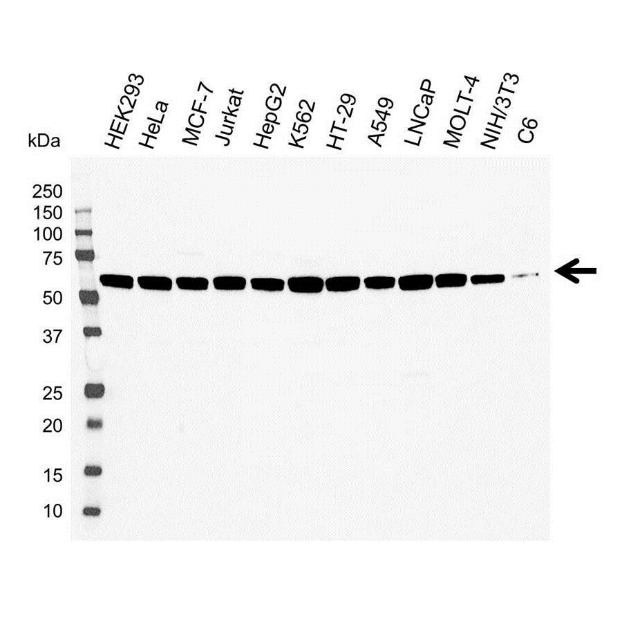 PDCD4 Antibody (PrecisionAb<sup>TM</sup> Antibody) gallery image 1