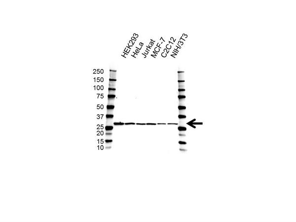 PDGF-B Antibody (PrecisionAb<sup>TM</sup> Antibody) gallery image 1