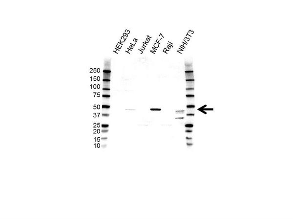 PDGF-C Antibody (PrecisionAb<sup>TM</sup> Antibody) gallery image 1