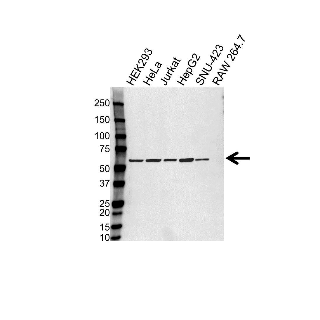 PDIA3 Antibody (PrecisionAb<sup>TM</sup> Antibody) gallery image 1