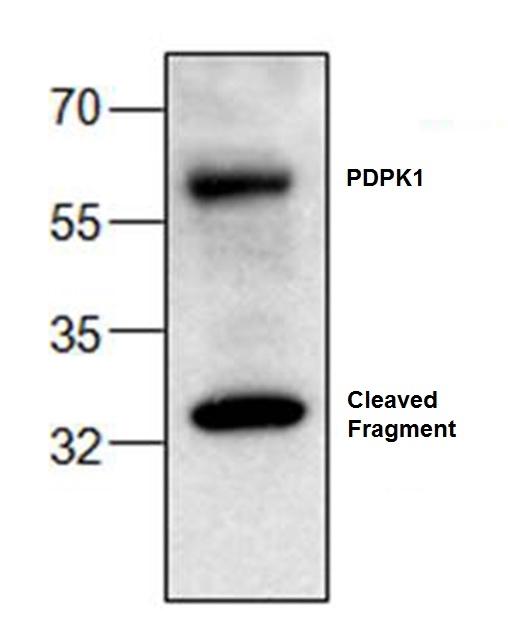 PDKP1 Antibody gallery image 1