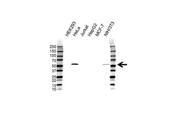 PDLIM7 Antibody (PrecisionAb<sup>TM</sup> Antibody) gallery image 1