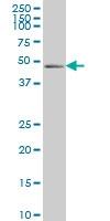 PDLIM7 Antibody | 2D6 gallery image 1