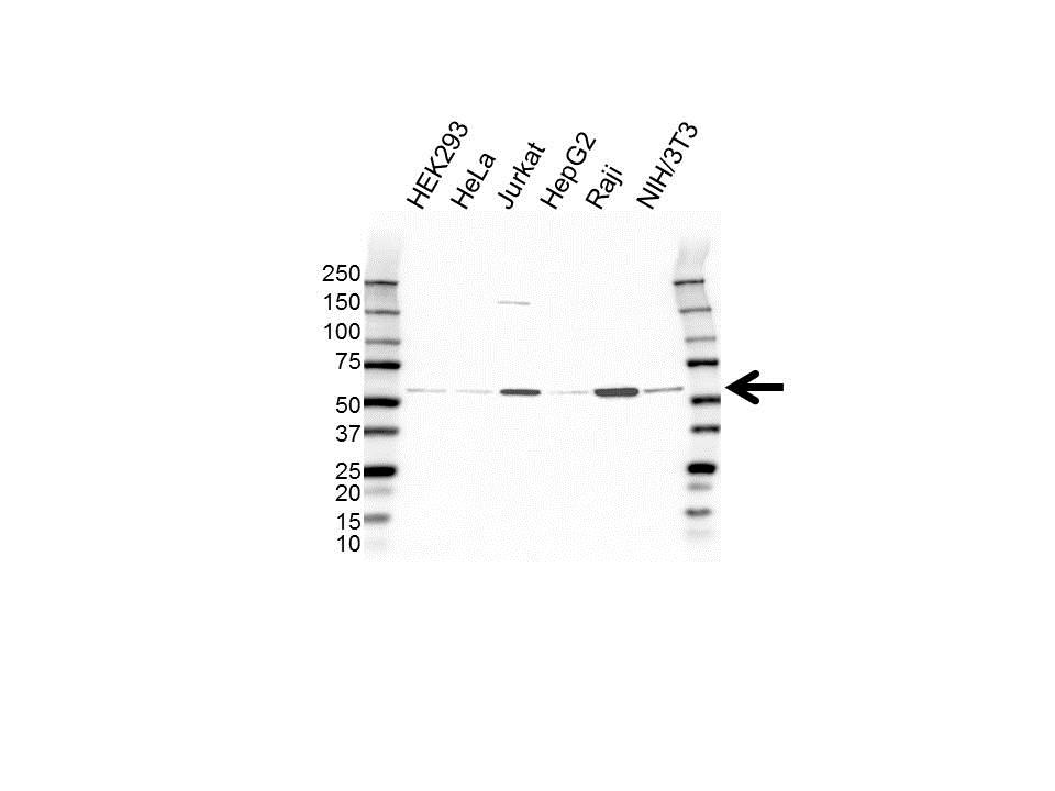 PELI3 Antibody (PrecisionAb<sup>TM</sup> Antibody) gallery image 1