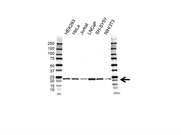 Peroxiredoxin 2 Antibody (PrecisionAb<sup>TM</sup> Antibody) gallery image 1
