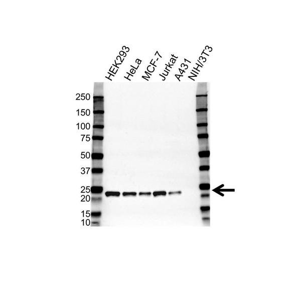 Peroxiredoxin 3 Antibody (PrecisionAb<sup>TM</sup> Antibody) gallery image 1