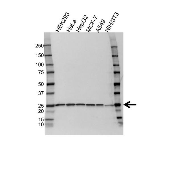 Peroxiredoxin 6 Antibody (PrecisionAb<sup>TM</sup> Antibody) gallery image 1