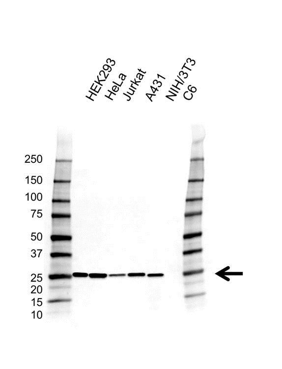 Peroxiredoxin 6 Antibody (PrecisionAb<sup>TM</sup> Antibody)   AB02/4A2 gallery image 1