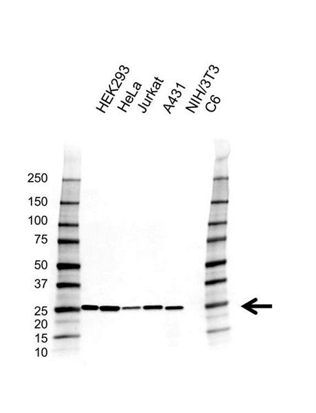 Peroxiredoxin 6 Antibody (PrecisionAb<sup>TM</sup> Antibody) | AB02/4A2 gallery image 1