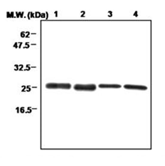 Peroxiredoxin 3 Antibody | 12B gallery image 1