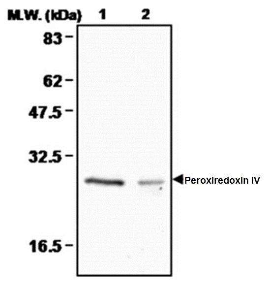 Peroxiredoxin 4 Antibody | 3A1 gallery image 1