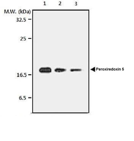 Peroxiredoxin 5 Antibody | 3F11 gallery image 1