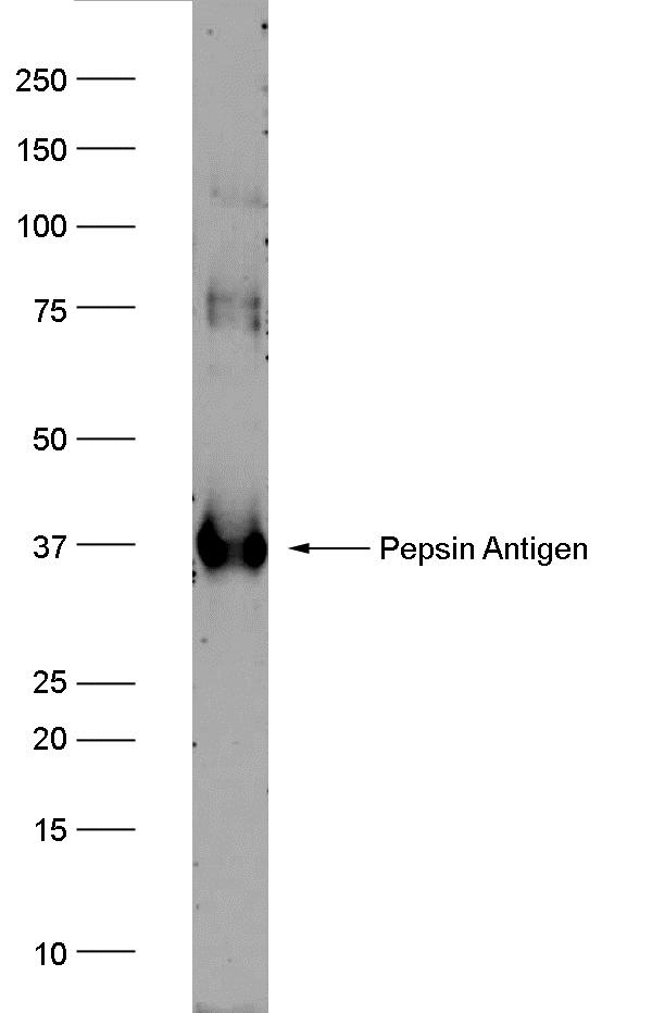 PGA3 Antibody | AbD10785 gallery image 1