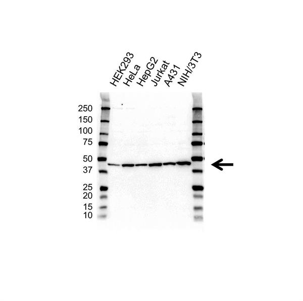 PGK1 Antibody (PrecisionAb<sup>TM</sup> Antibody) gallery image 1