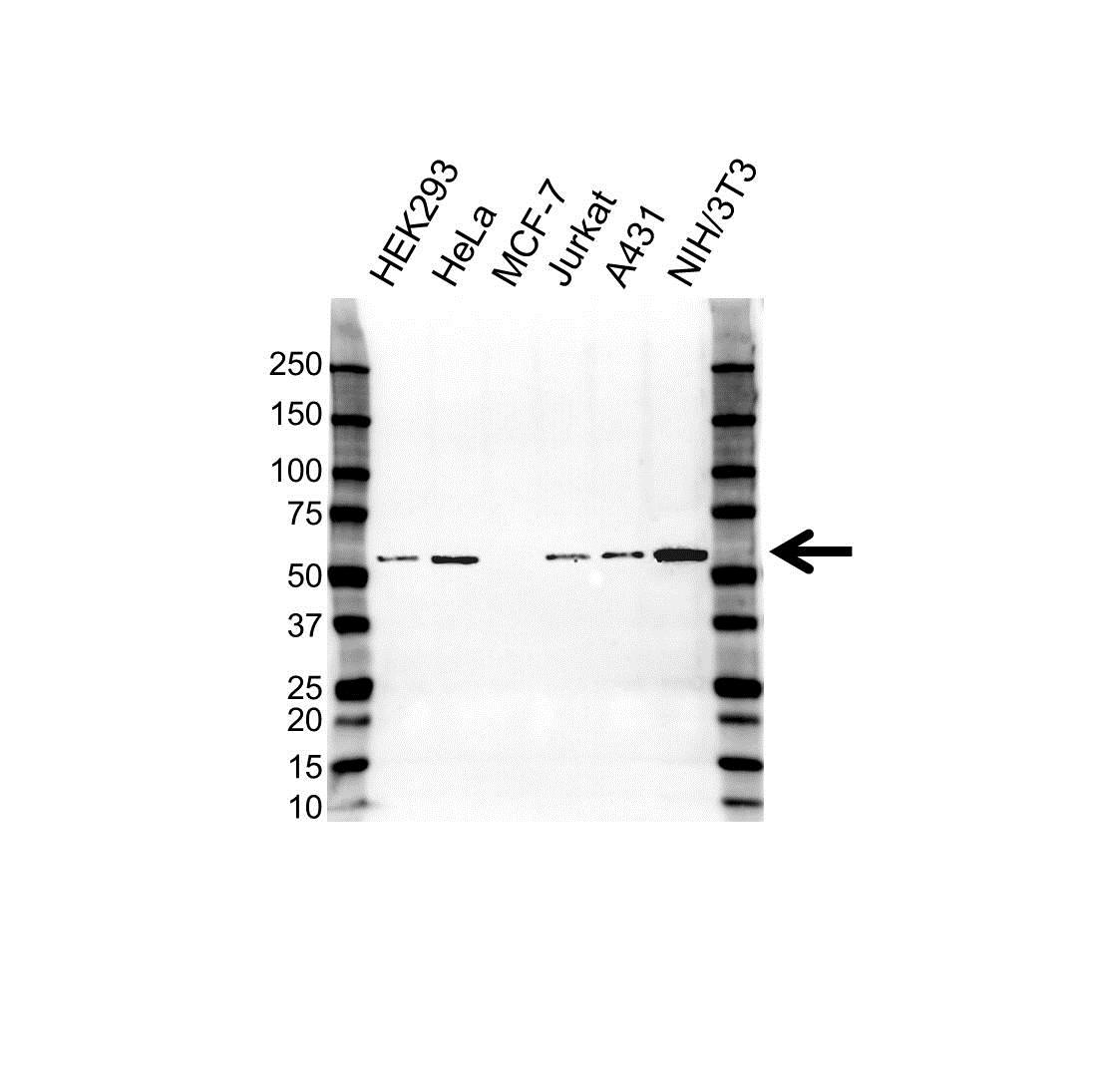 PHGDH Antibody (PrecisionAb<sup>TM</sup> Antibody) gallery image 1