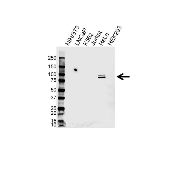 Phosphodiesterase 4D Antibody (PrecisionAb<sup>TM</sup> Antibody) gallery image 1