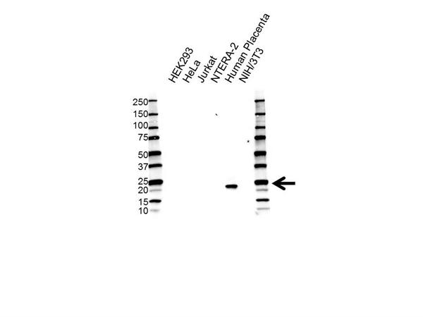 Placental Lactogen Antibody (PrecisionAb<sup>TM</sup> Antibody) | 4D6 gallery image 1