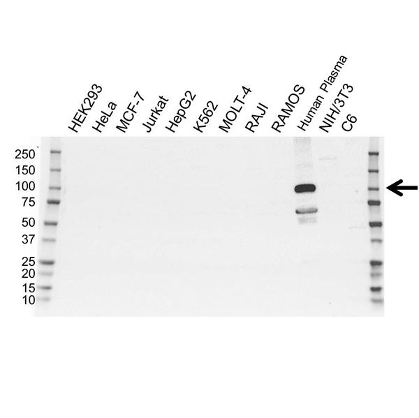 Plasminogen Antibody (PrecisionAb<sup>TM</sup> Antibody) gallery image 1